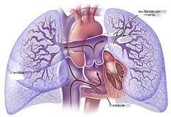 Фото - Легеневе серце схема